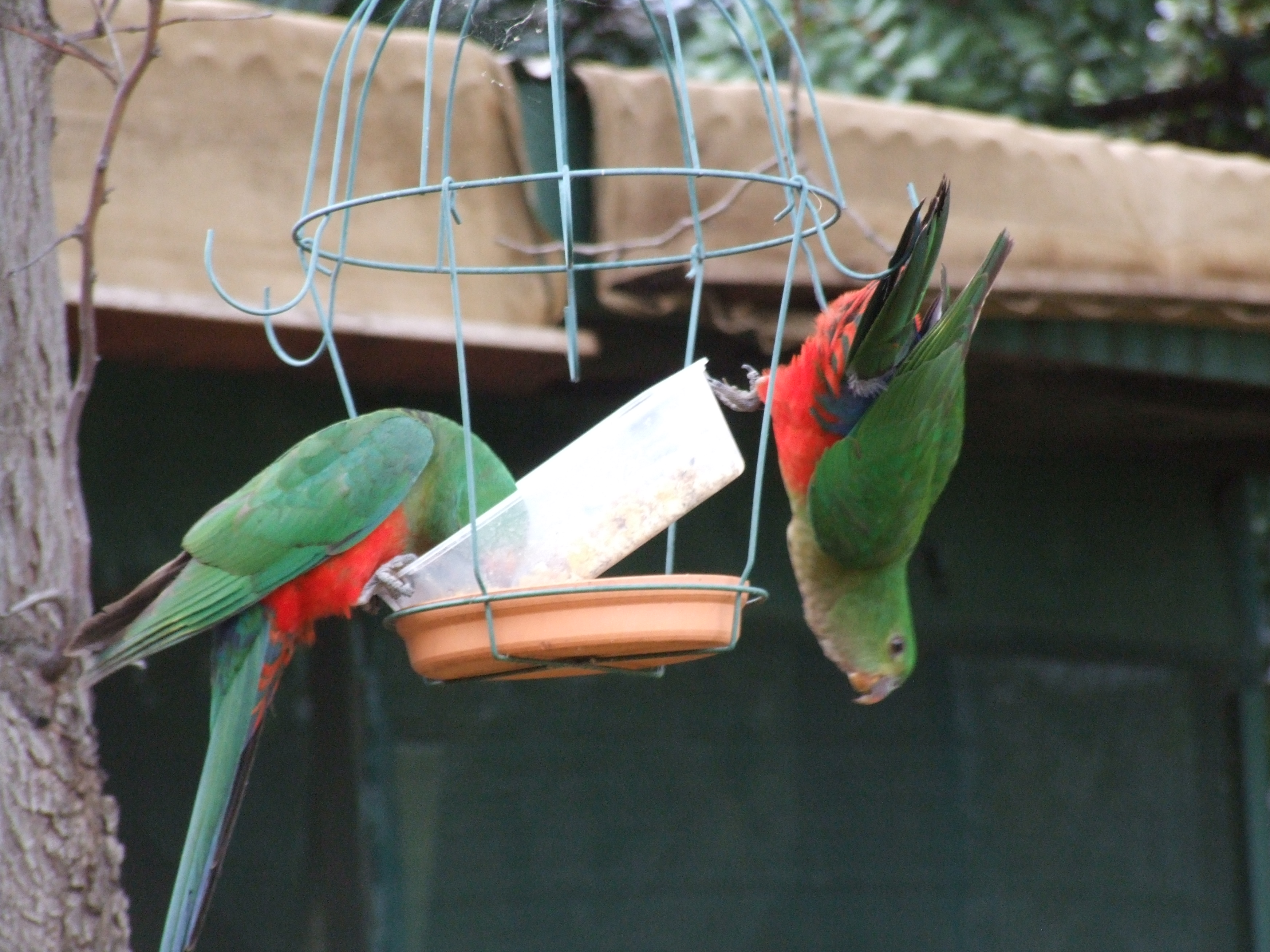 King Parrots gallery image