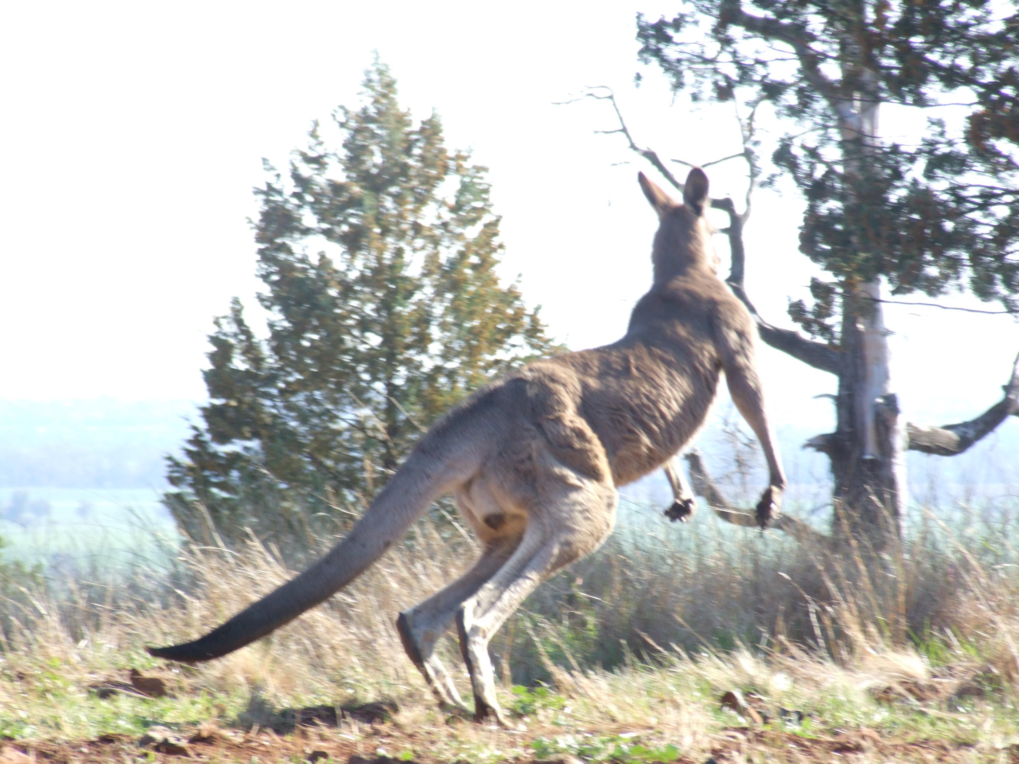 Big kangaroo gallery image