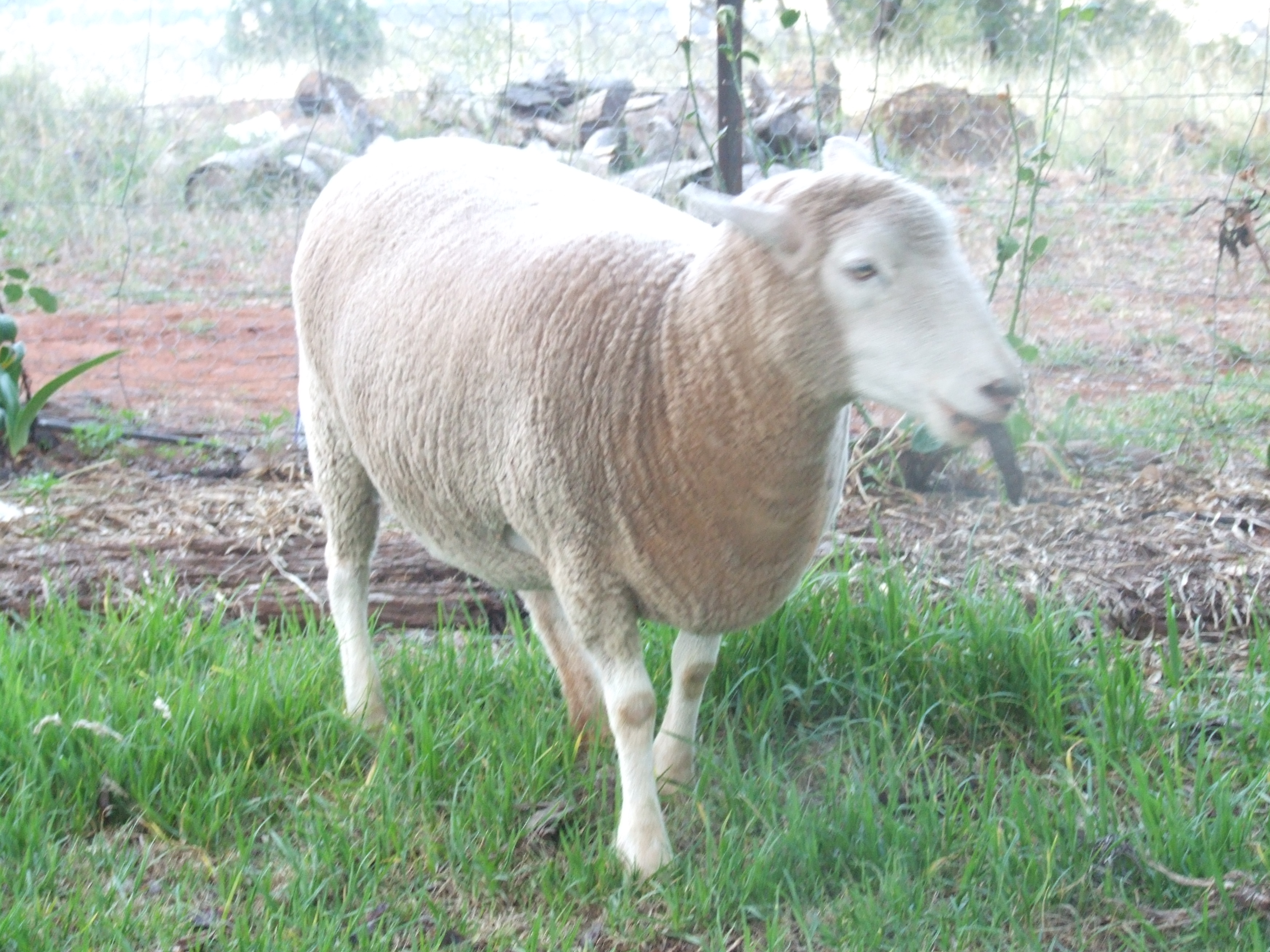 Charlie the sheep gallery image