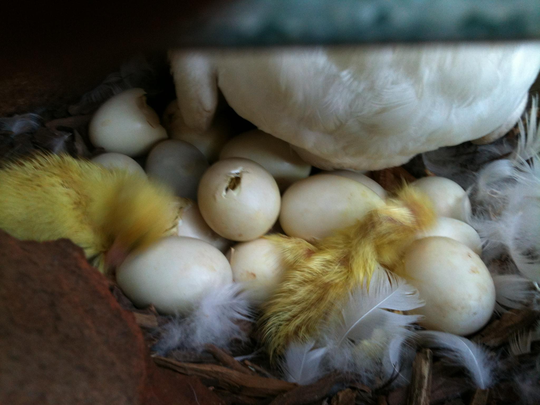 Ducklings gallery image