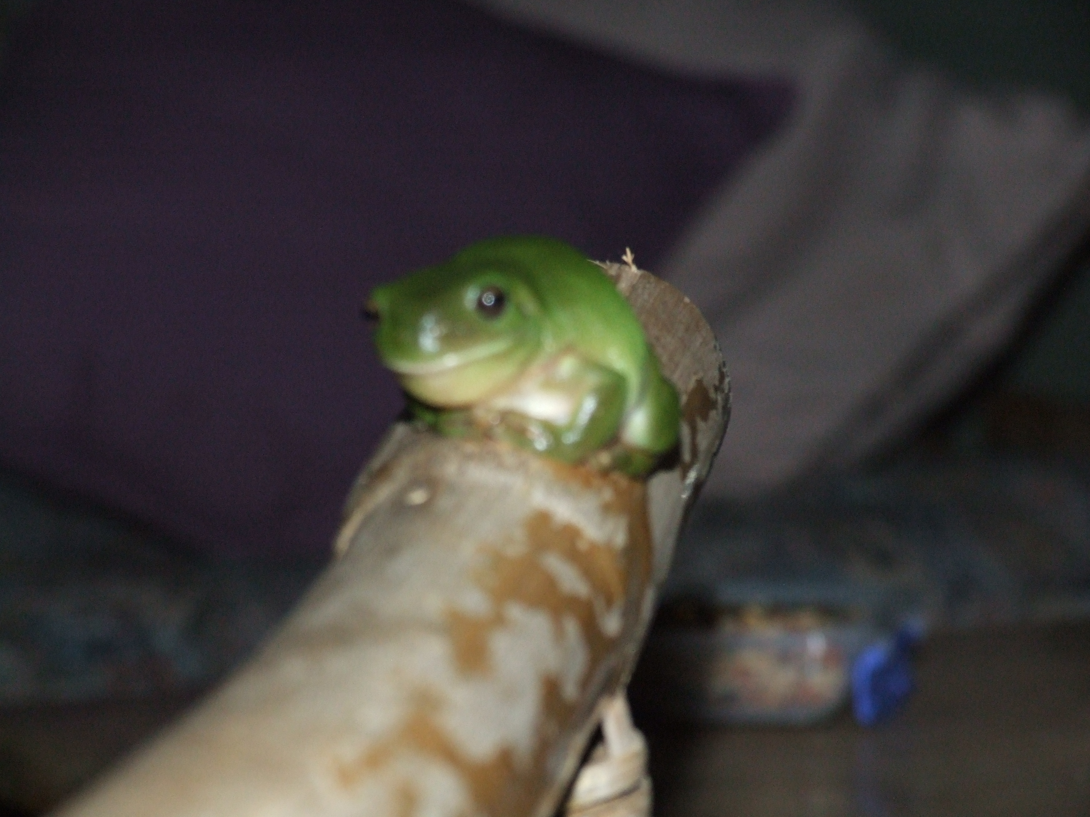 One of the locals Green Tree Frog gallery image