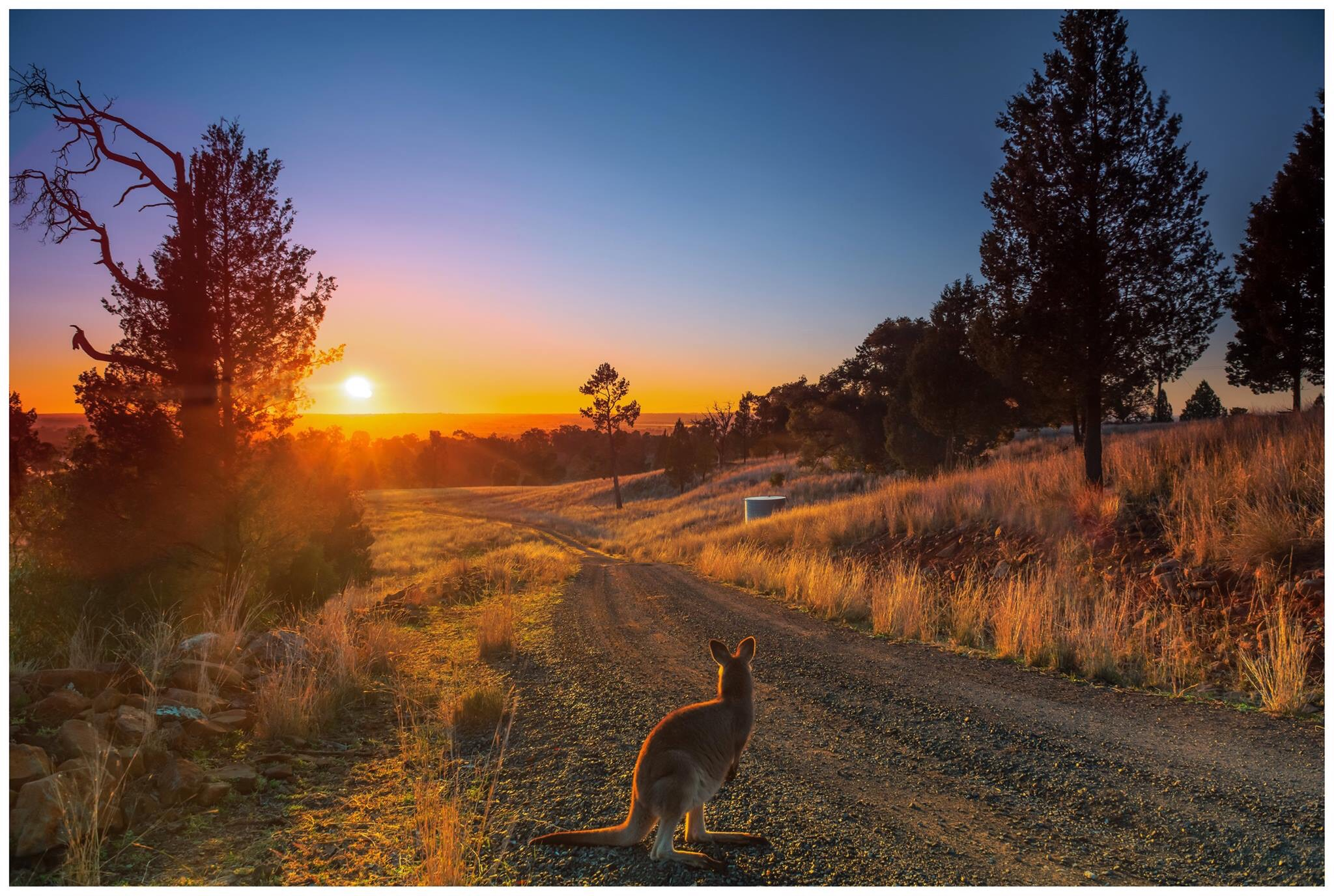 Roo hoping down thew driveway at sunrise/ gallery image