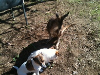 Riley, Shelby and a local eastern grey kangaroo gallery image
