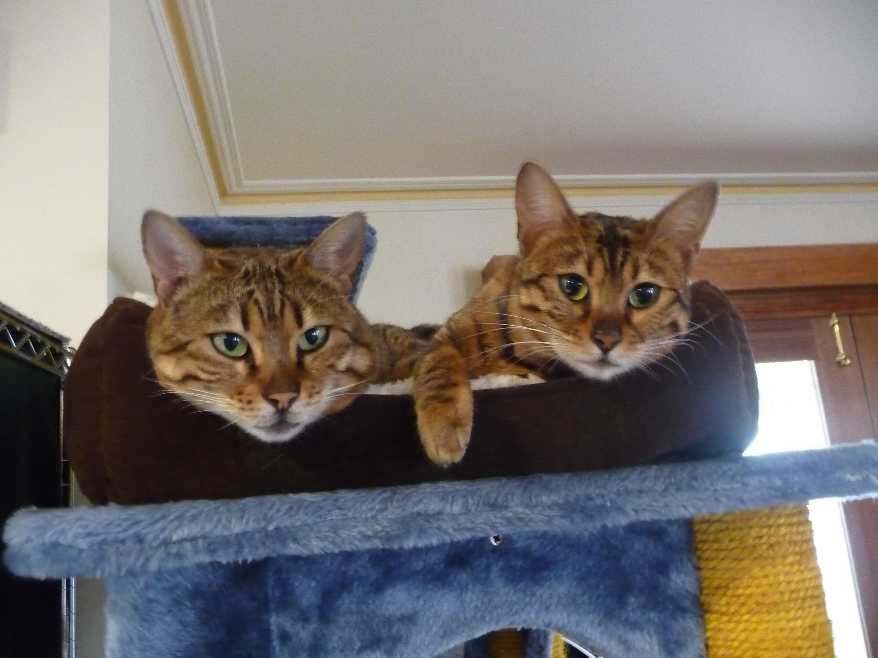 Benglenan Bengals - Bengal Cat Breeder - Albury, NSW