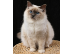 Spellbound Cats - Cattery, Birman Cat Breeder - Hobart, Tasmania