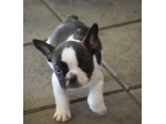 Dalrite French Bulldog Breeder - Adelaide, SA