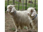 Merindah Miniature Goats - Geelong