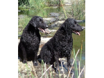 Blazeaway Park - Dog Boarding Kennel & Dog Breeder - Curly Coated Retrievers & Jack Russells