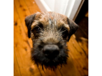 Leema Border Terriers - Border Terrier Breeders, South Australia.