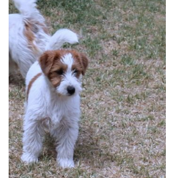 Puppies for sale from registered Dog Breeders in Victoria
