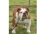 BEWTIFULBUL - British Bulldog Breeder, Vic