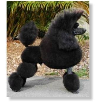 Poodle Breeders Australia | Poodle Info & puppies
