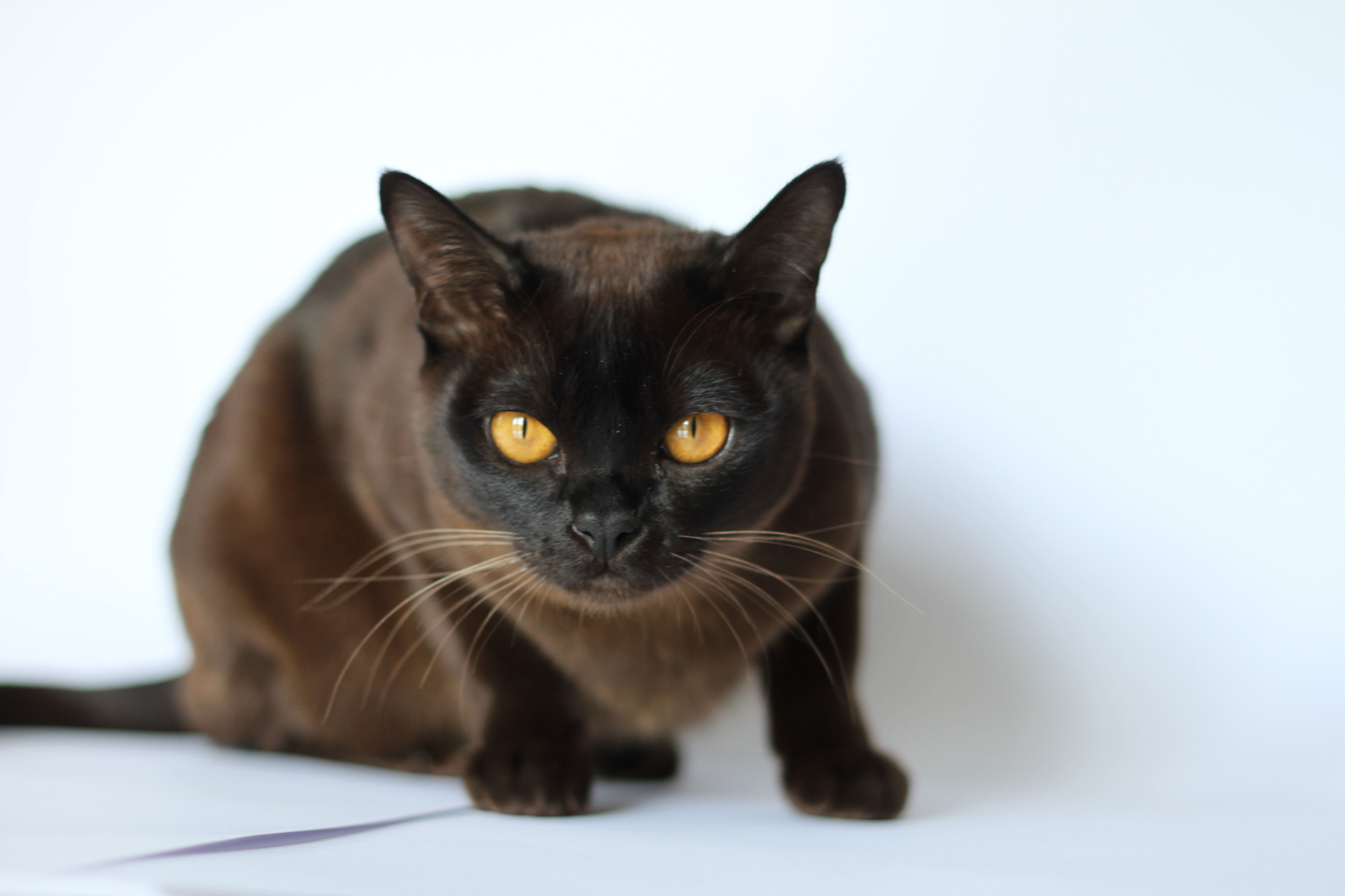 Burmese rescue cats melbourne