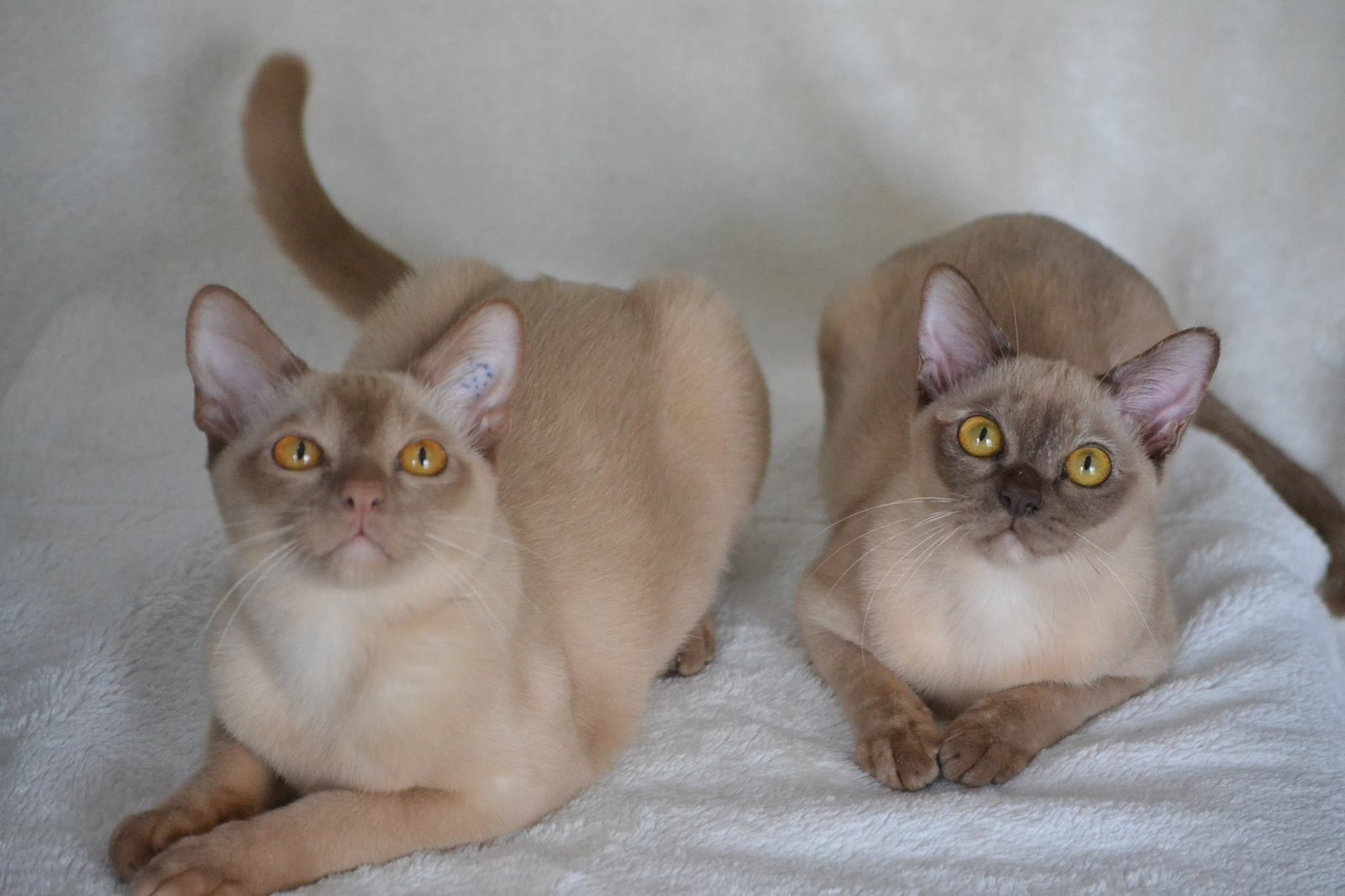 Burmese cats for sale nsw australia