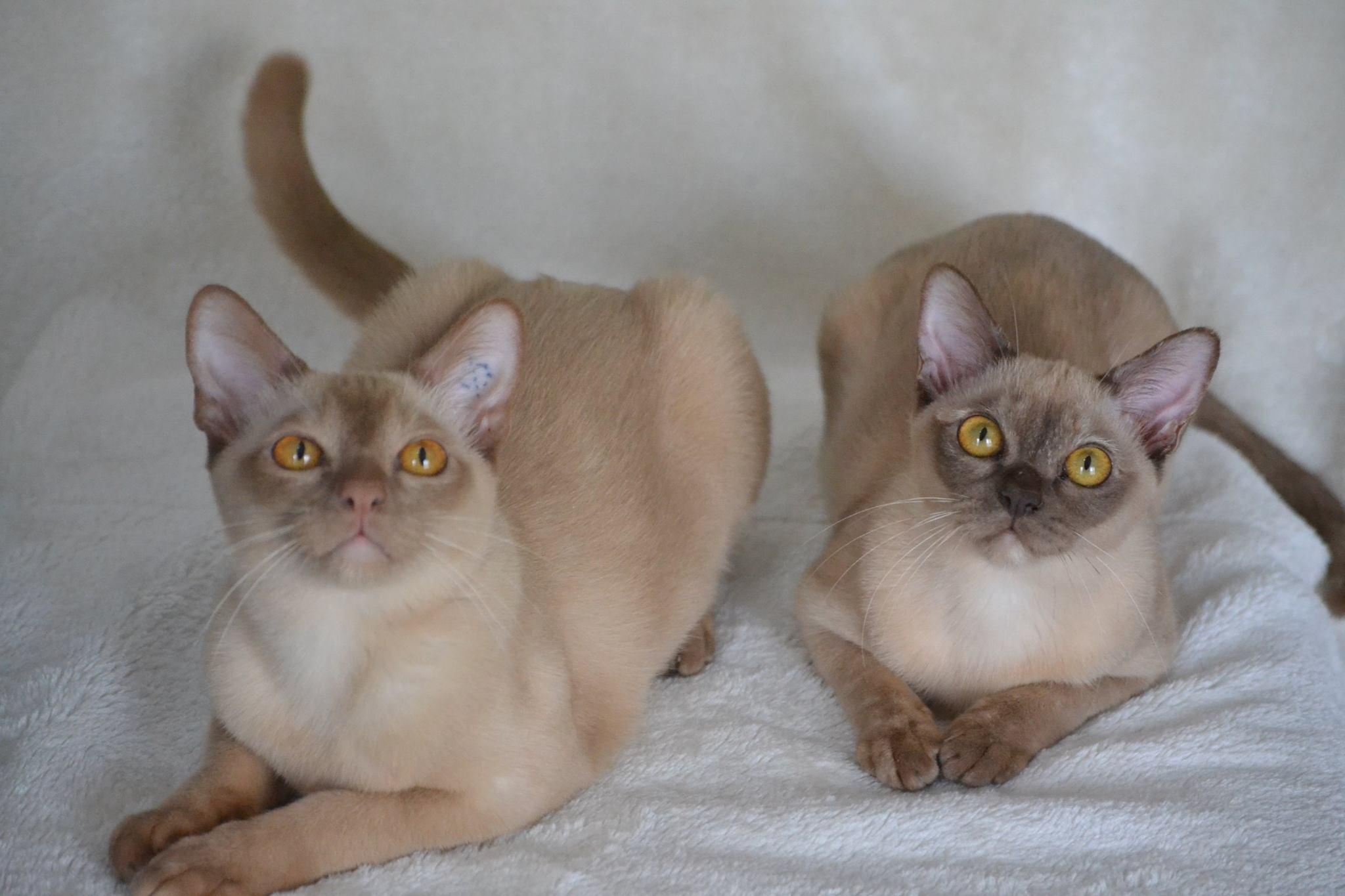 Burmese kittens for adoption adelaide – Popular breeds of cats ...