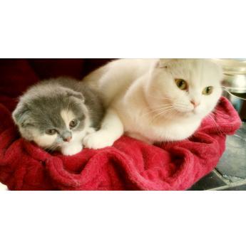 British blue cat breeders scotland