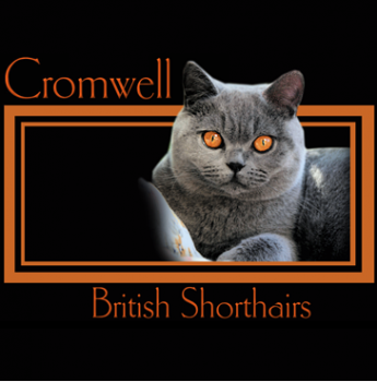 Cromwell British Shorthair - British Shorthair Cat Breeder - Launceston, Tasmania