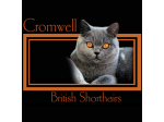 Cromwell British Shorthair - British Shorthair Cat Breeder - Launceston, Tasmania