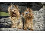 CIABEN Yorkshire Terriers - Yorkshire Terrier Breeder, SA