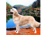 Outbackgold - Golden Retriever Breeder - Katherine, NT