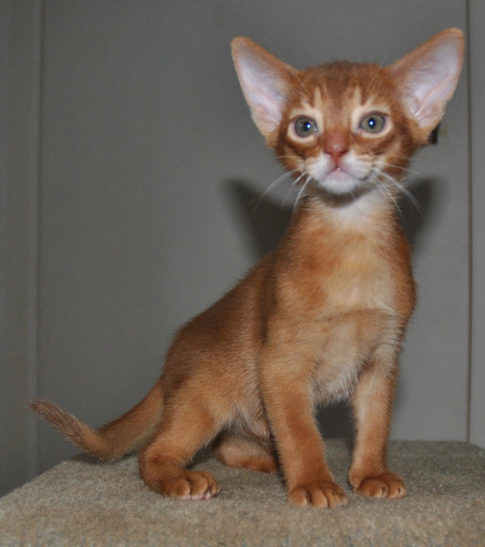 Cinnamon Kitten gallery image