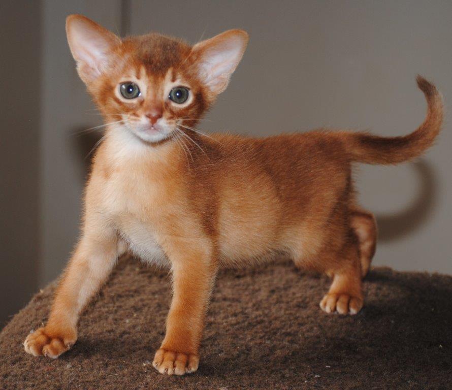 Merindalee  Cinnamon Kitten gallery image