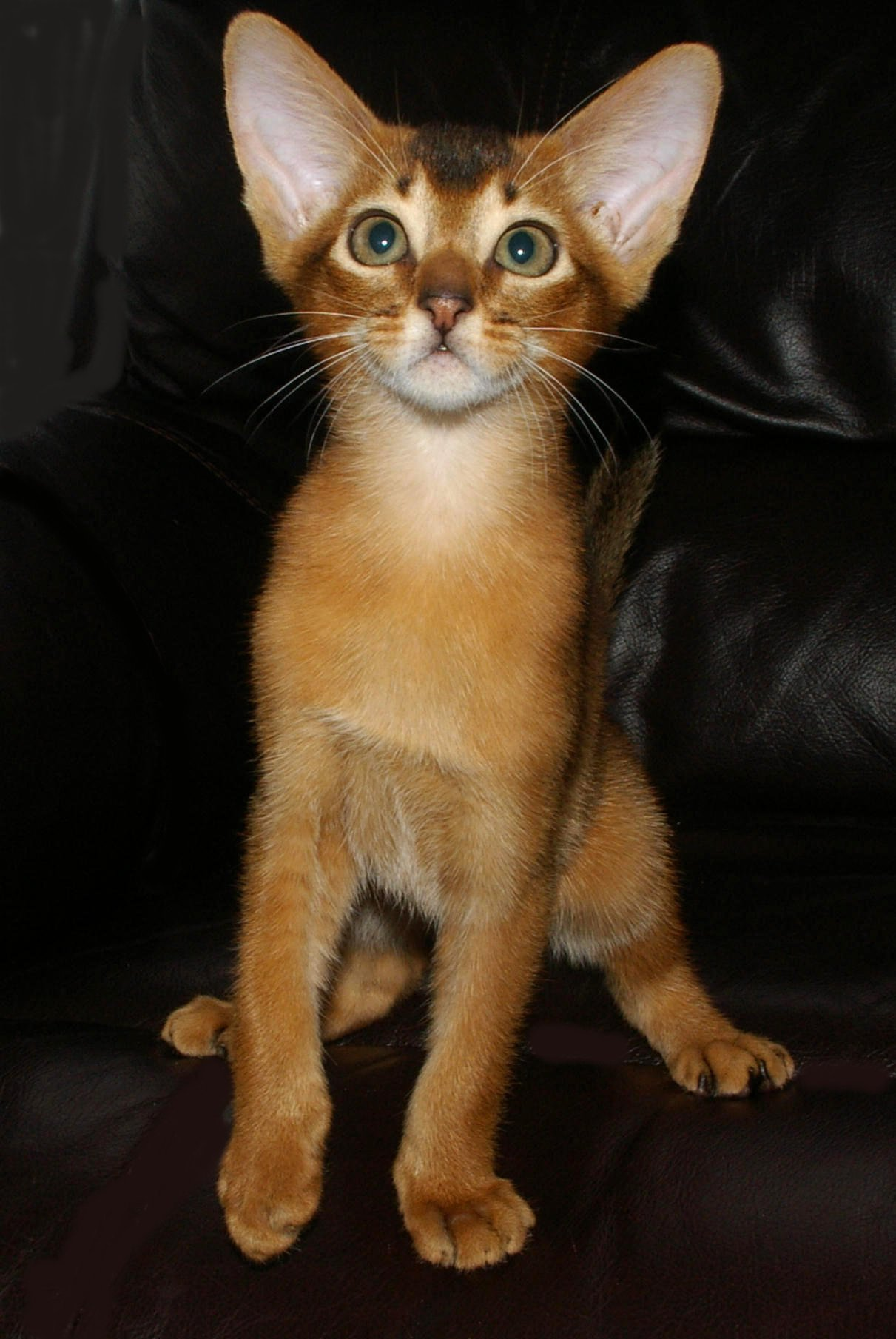 Tawny Kitten from Merindalee gallery image