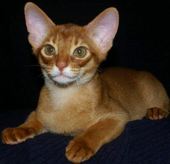 Merindalee Kitten gallery image