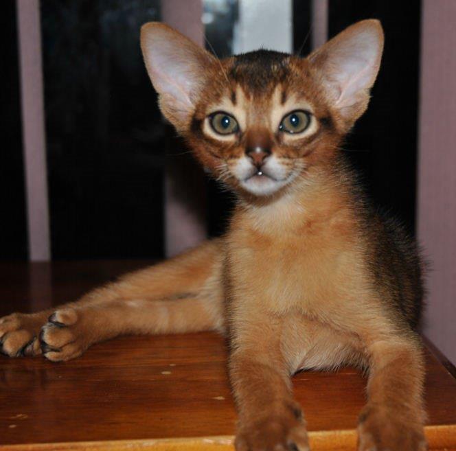 Merindalee Tawny Kitten gallery image