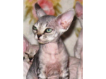 Shantor Cattery - Breeder Of Fine Devon Rex