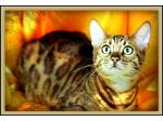 Biboohra Bengals - Bengal Cat Breeder, Queensland