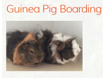 Willow Woods Cavy Camp - Guinea Pig Boarding Services, Melbourne
