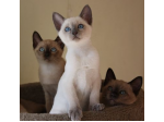 Emmel Tonkinese and Mandalay - Tonkinese and Mandalay Cat Breeder, QLD