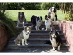 Bojewel Border Collies - Border Collie Breeder - Victoria