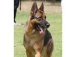Seigen German Shepherd Breeder - Victoria