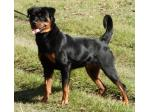 Dreistleigh Rottweiler and Chihuahua Breeder - Grafton, NSW