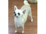 Skybee Chihuahua's and Russian Toys - Chihuahua Breeder - NSW