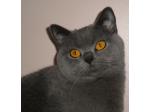 Ancroft Cattery -  British Shorthair & Cornish Rex Cat Breeder - Melbourne