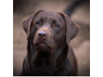Kobelco Labradors - Labrador Retriever Breeder - Coffs Harbour, NSW