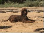 Jonje Standard Poodles - Poodle Breeder - Nar Nar Goon, Victoria