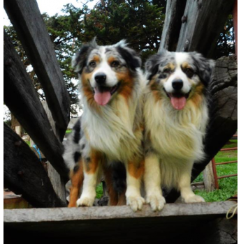 Australian Shepherd Breeders Australia | Australian Shepherd