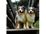 Blulight Australian Shepherds - Australian Shepherd Breeder, South Australia