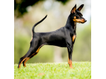 Palana Kennels - Miniature Pinscher Breeder - Adelaide, South Australia