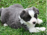 Brenfurbabys - Border Collie Breeder - Lithgow, NSW