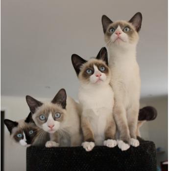 Registered Snowshoe Cat Breeders Australia