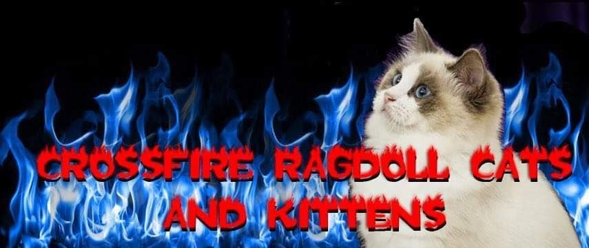 Crossfire Ragdoll cats and kittens