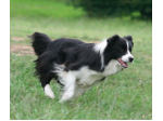 Ancrum Border Collies - Border Collie Breeder - Bowral, NSW