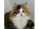 Borealis Norwegian Forest Cat Breeder & Birman Breeder - Melbourne, Victoria