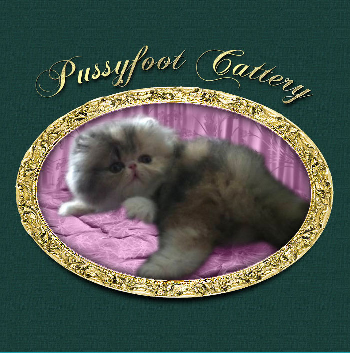 Pussyfoot Cattery - Exotic Shorthair & Persian Breeder