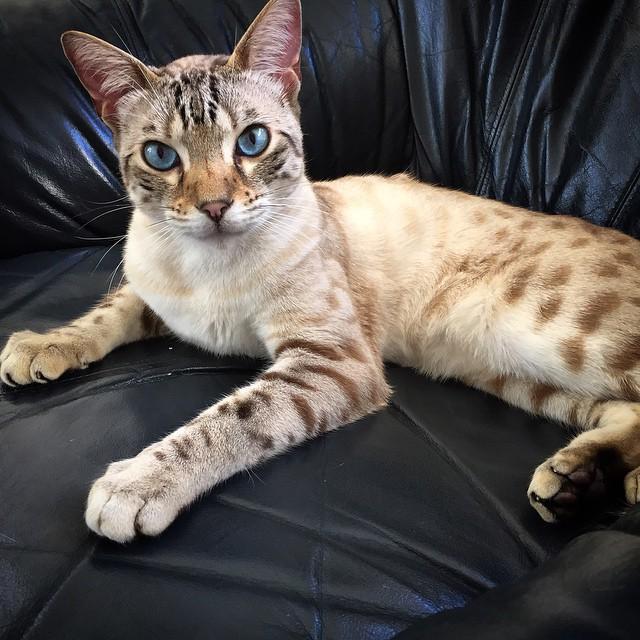 Stunning Yuki Cat gallery image